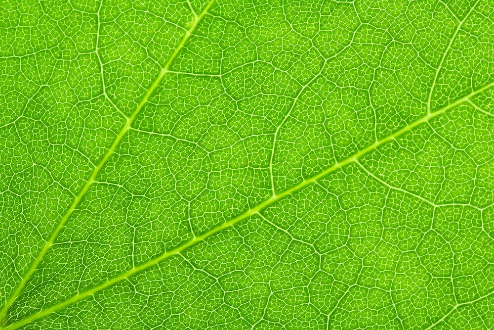 Bleeding Heart Leaf by Michael Swanson