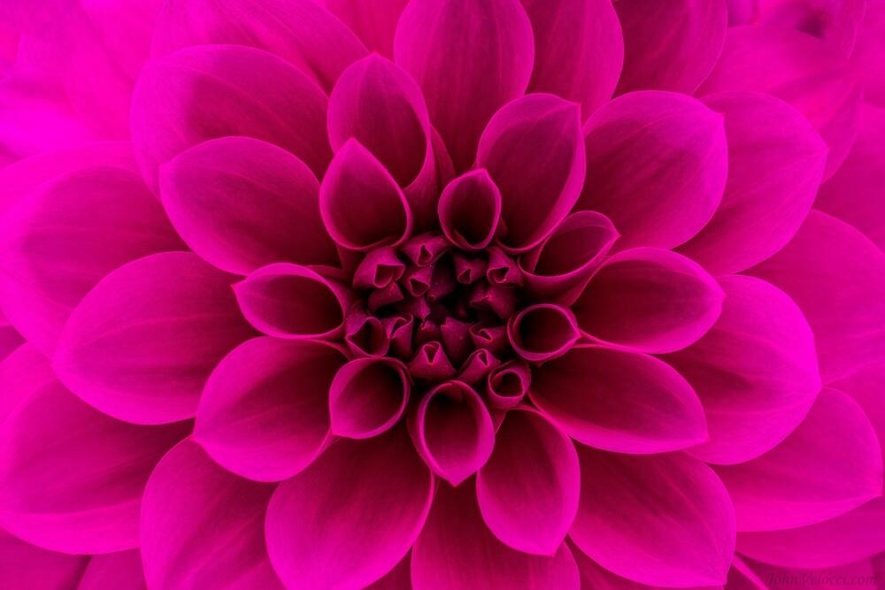 Alotta Pink by John Velocci