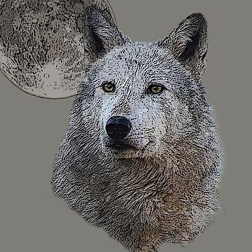 Gray wolf by declancarr