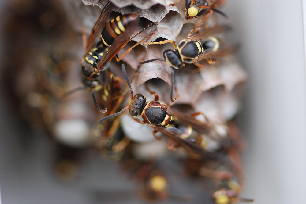 Japanese Wasps by ssphotographics