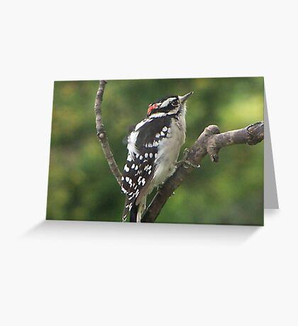 Male Downy Ponders Greeting Card