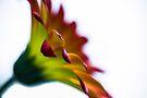 flower horn by John Velocci