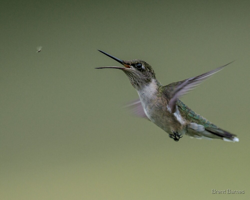 Hummingbird Eyeing a Small Insect For Lunch by Brent Barnes