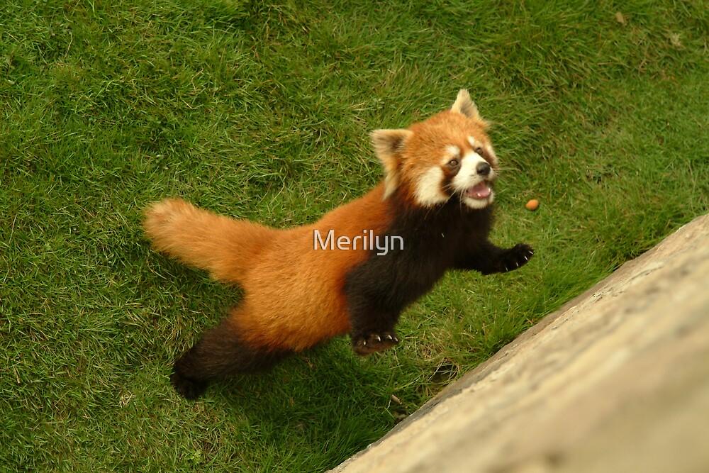 Red Panda by Merilyn