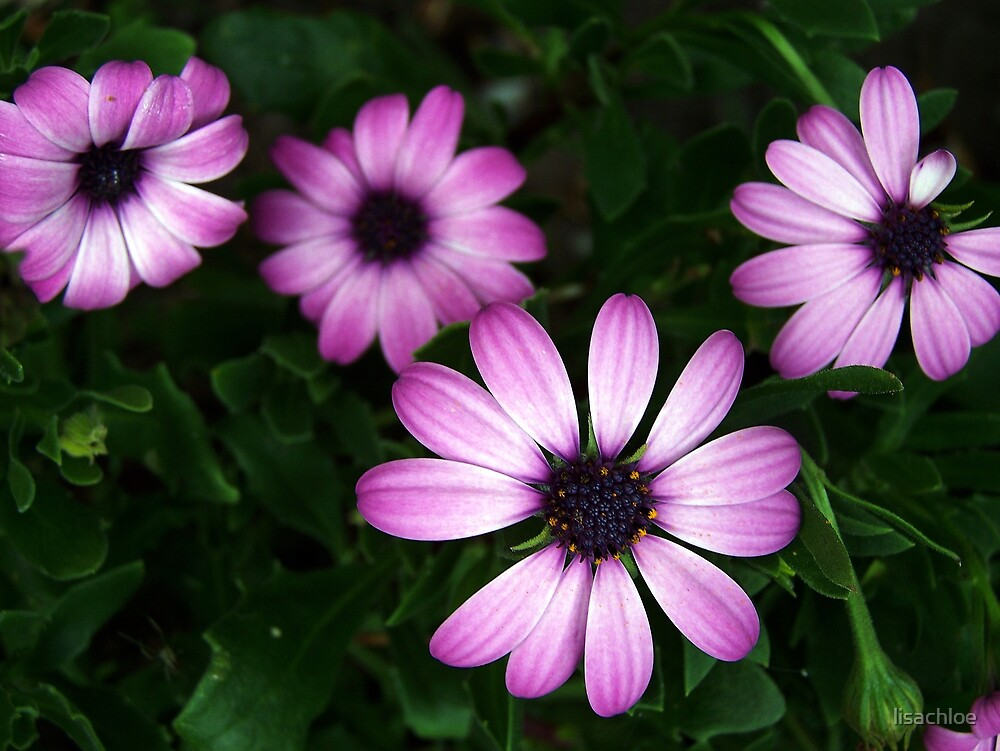 Pink Daisy Flowers by lisachloe