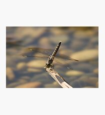 Anisoptera, dragonfly Photographic Print