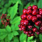 Red Berries by Barrie Daniels
