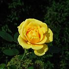 Autumn Rose by BlueMoonRose