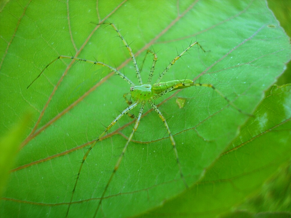 Harry The Green Lynx Spider by loramae