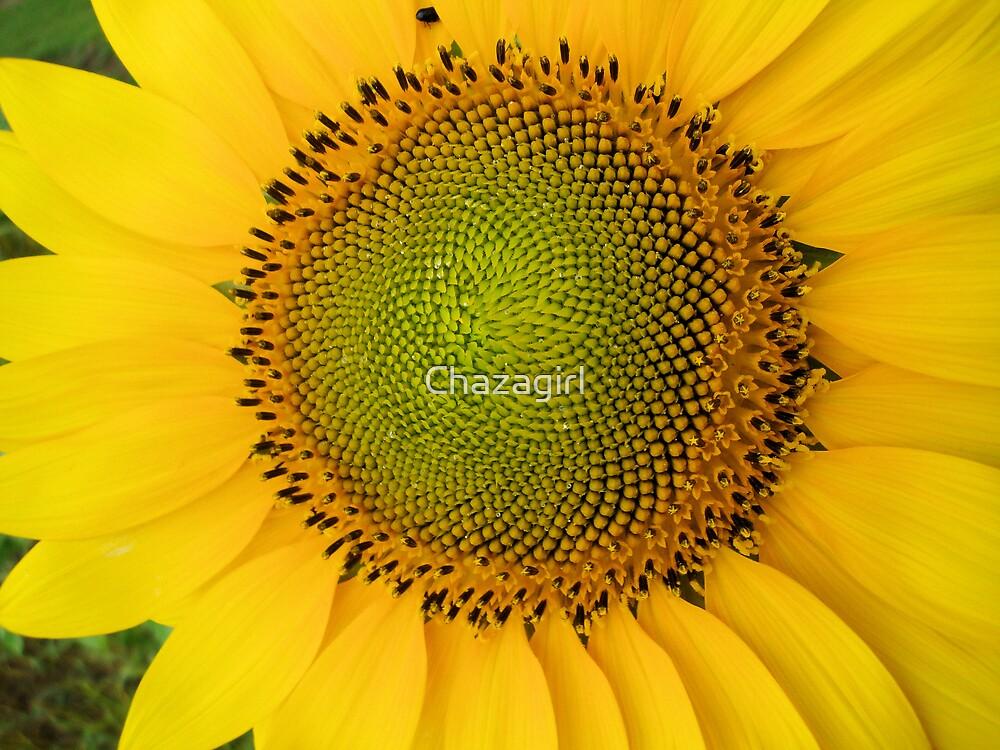 Sunflower by Chazagirl