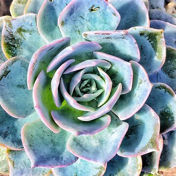 Colorful succulent  by kathrynhack