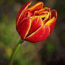 Fiery Tulip by Gerda Grice
