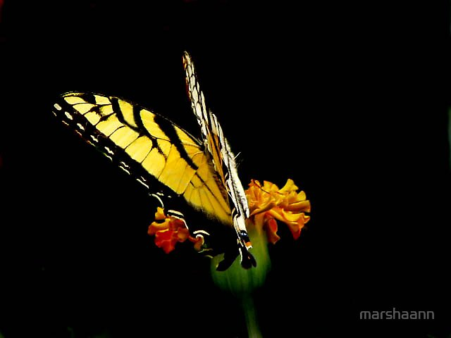 Butterflys and mariegolds by marshaann