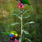Rainbow Lorikeets on a Waratah by theleastone