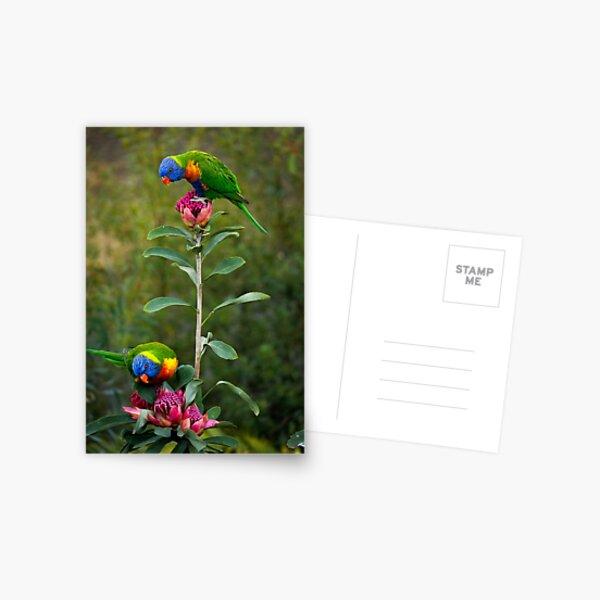Rainbow Lorikeets on a Waratah Postcard