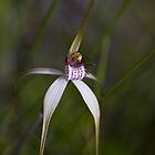 spider orchid 1 by col hellmuth