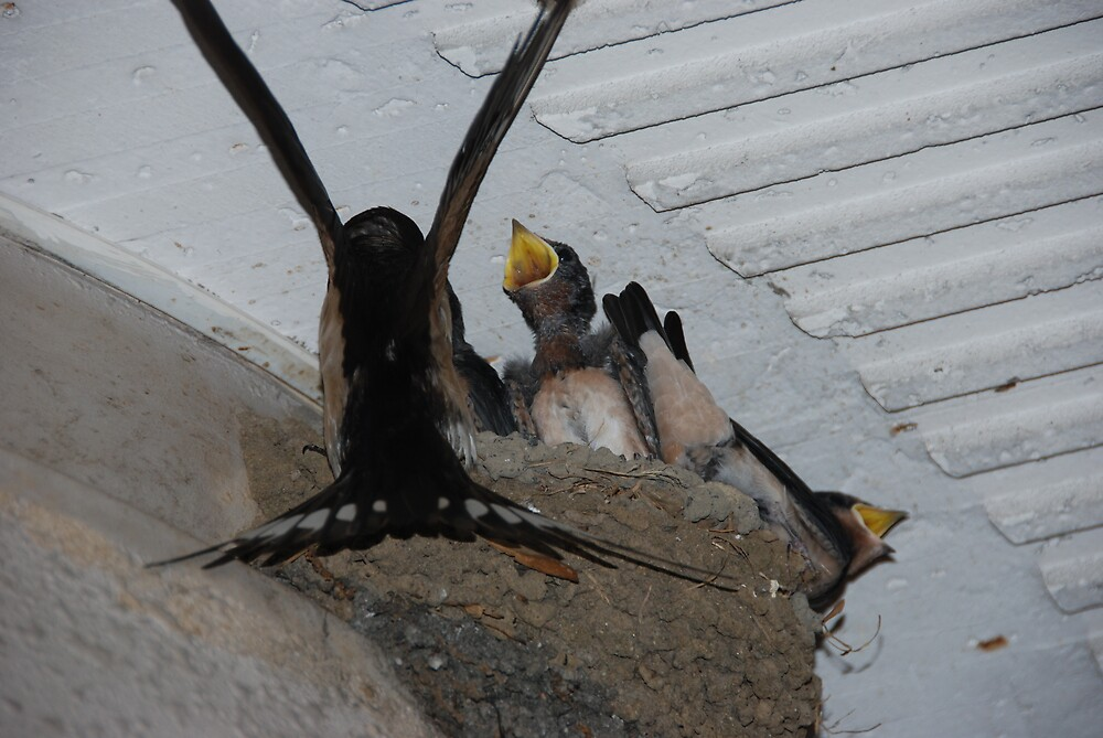 hungry swallows - 2 of 2 by ssphotographics