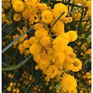 West Australian Golden Wattle... by Rasendyll