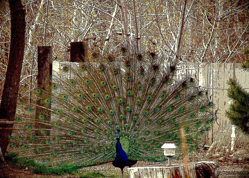 Peacock Fan by tkrosevear