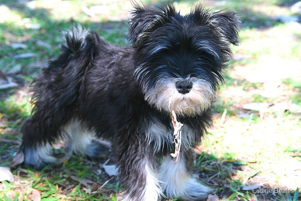 Schnauzer Puppy by Lawrie Beales