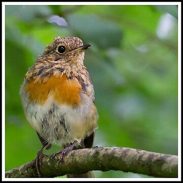 Juvenile Robin by DerekCorner