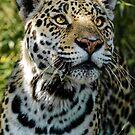 Jaguar by JMChown