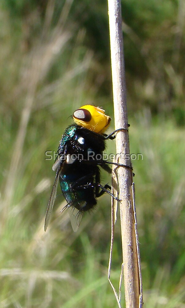 Yellow Head Fly by Sharon Robertson