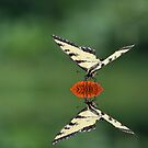 Swallowtail Reflecting by BigD