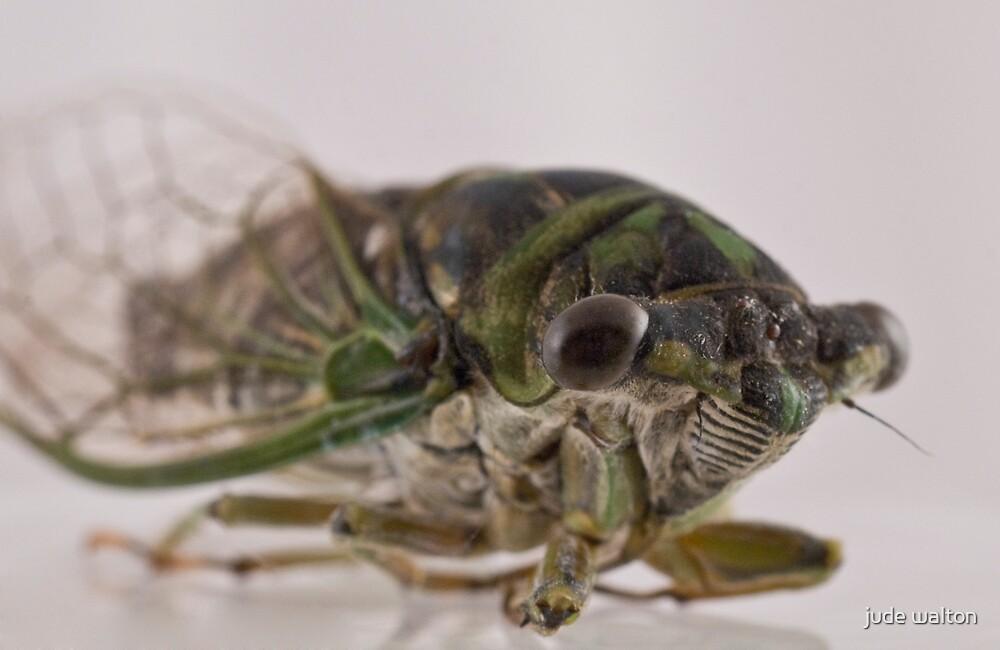 cicada by jude walton