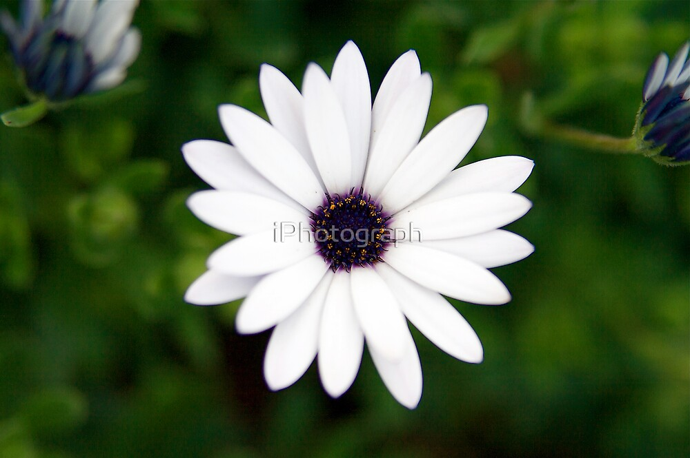 White Flower by iPhotograph