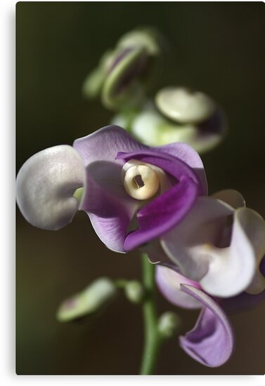 Snail Flower by Joy Watson