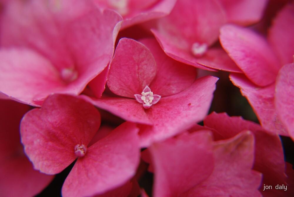 pink hydranger by jon  daly