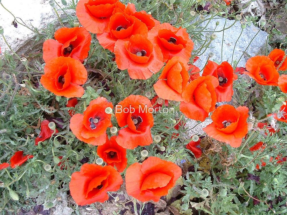 poppies by Bob Morton