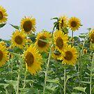 Sun Flowers in feild by Howard Clem