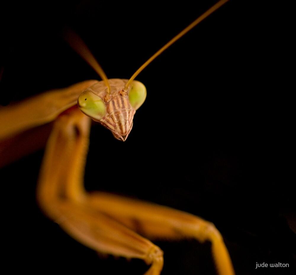 praying mantis 3 by jude walton
