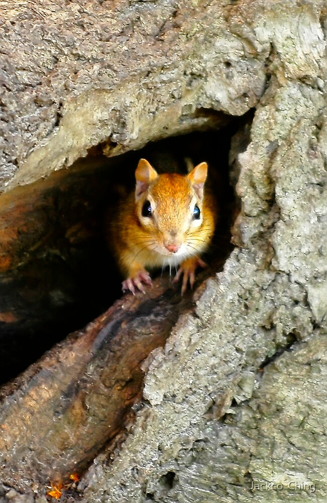chipmunk in a tree by jackco ching