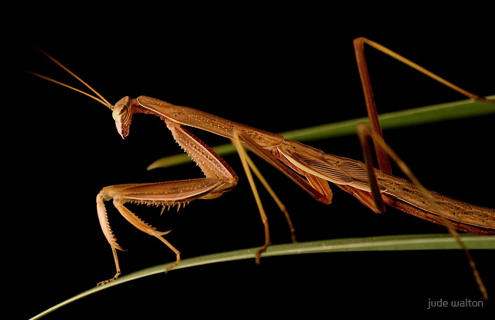 praying mantis 4 by jude walton