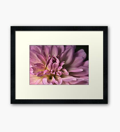 Shades of  Dahlia Framed Print