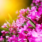 Pink flowers close-up, nature background by dariazu