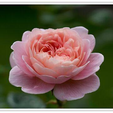 Pink Rose by DerekCorner