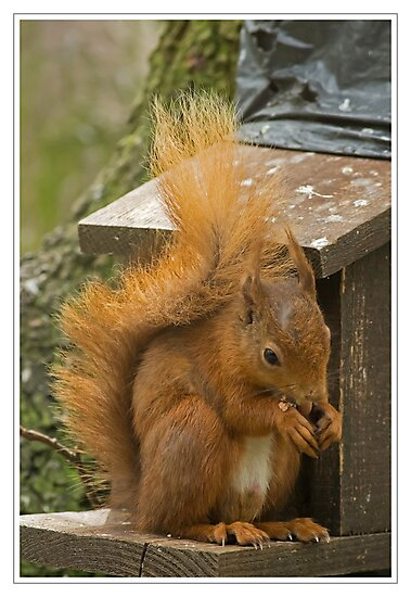 Red Squirrel by Derek Corner