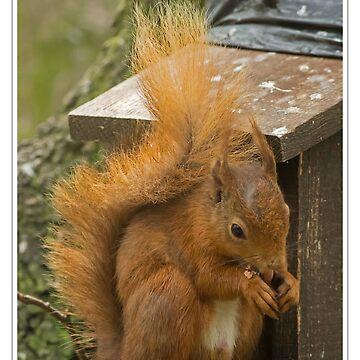 Red Squirrel by DerekCorner