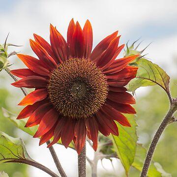 Sunflower by DerekCorner