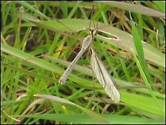 cranefly by tigsy22