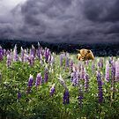 Highlander in the Lupine by Wayne King