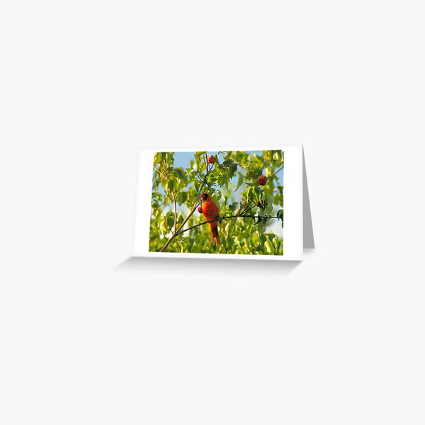 Early Morning, Late Summer, Northern Cardinal Greeting Card
