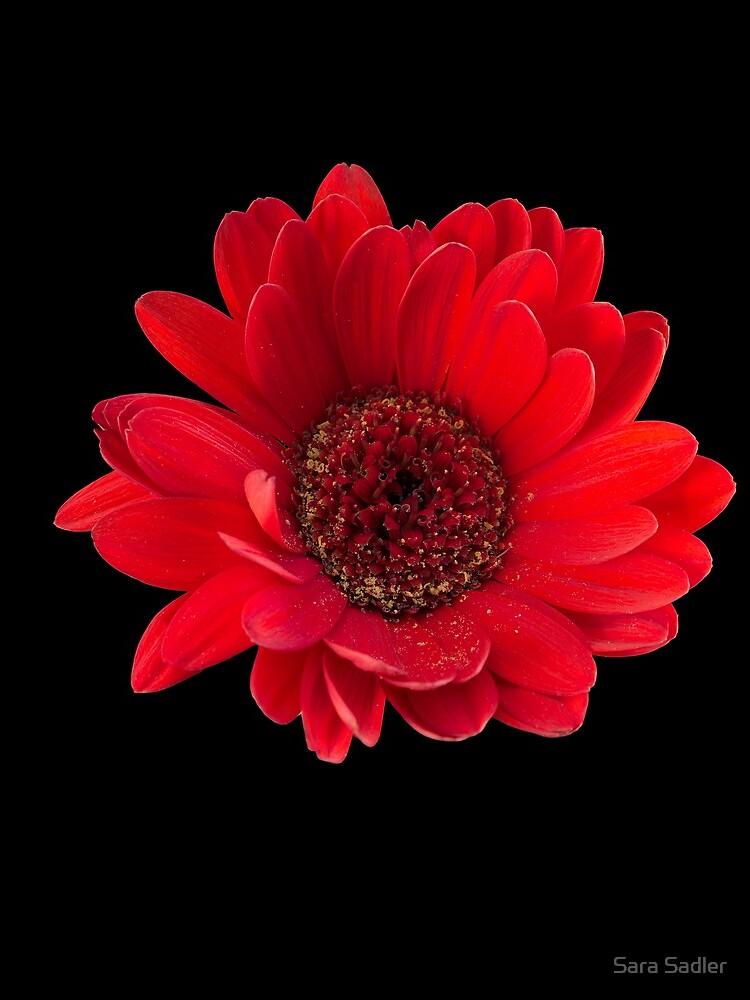 Close up photograph of a red gerbera flower by sadler2121