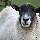 Yorkshire Sheep by CBenson