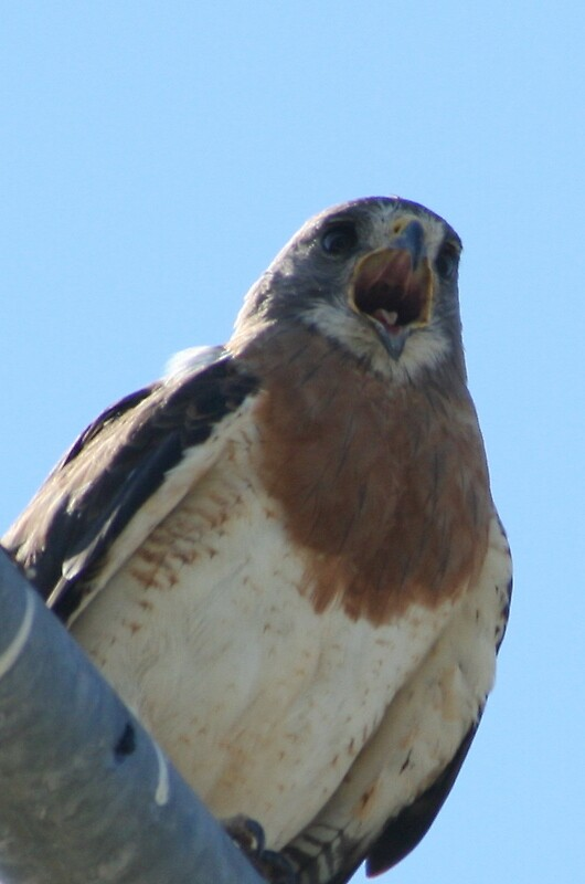 Screeching Hawk by dretke1