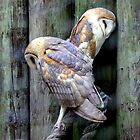 Two Of a Kind - Barn Owls by AuntDot
